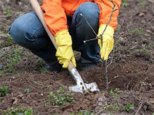 Transplantation d'arbres
