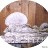 La mérule : un champignon redoutable, au doux nom de 'lèpre des maisons'