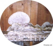 La m rule un champignon redoutable au doux nom de 39 l pre des maisons 39 - Champignon de maison merule ...