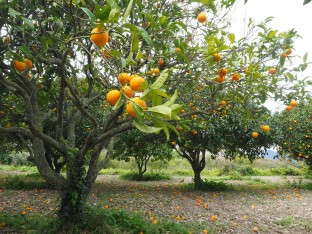 Orangers © Public Domain
